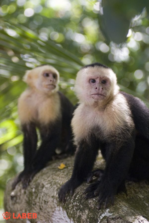 male and female Capuchin Monkeys available for sale – Labeb