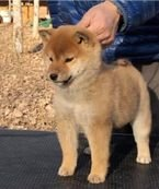 Shiba inu puppy for rehoming.