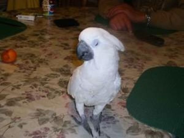 Cockatoo parrots male and female for sale