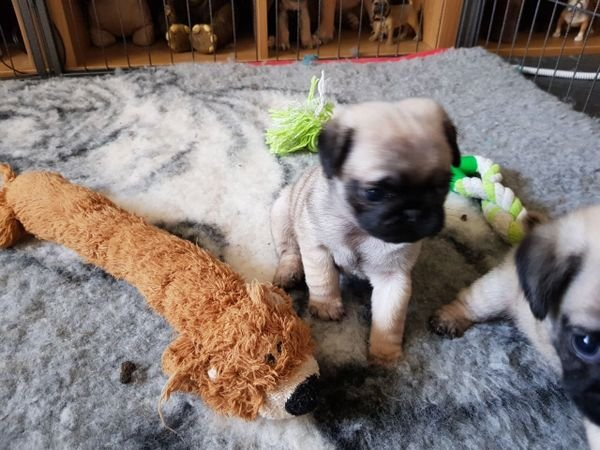 Pure Pug puppies for sale now