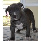 American Pit Bull Blue Line Puppies For Sale