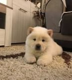 lovely Chow chow puppy for sale