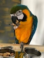Gold Macaw parrots male and female for sale