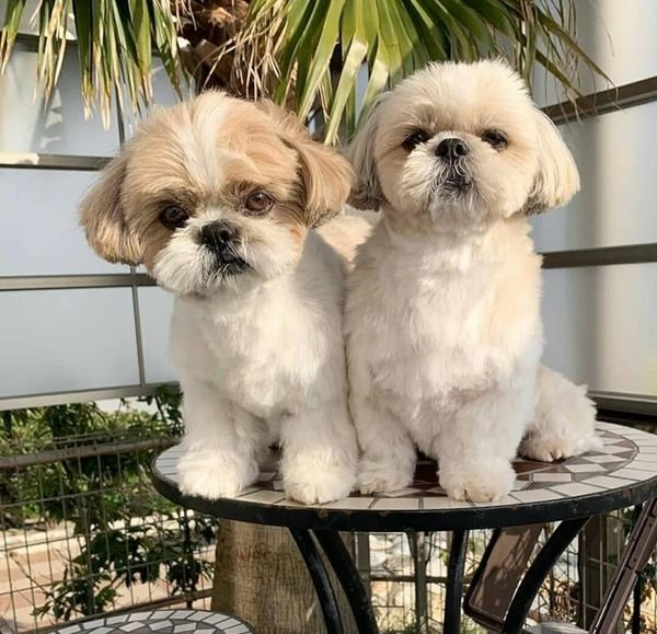 Adorable Shih-tzu Puppies For Sale