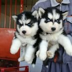 Adorable Siberian Husky Puppies ready for sale