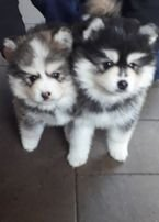 Lovely Pomsky puppies available for sale