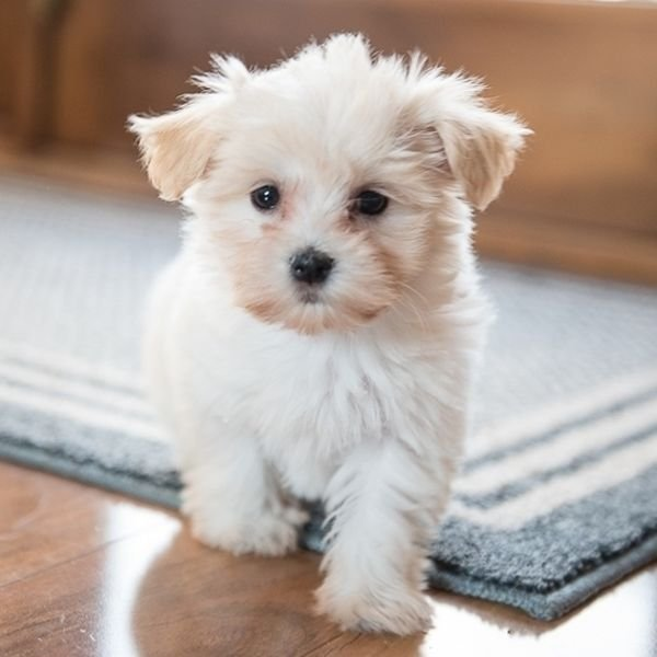 We have beautiful Havanese puppies available.
