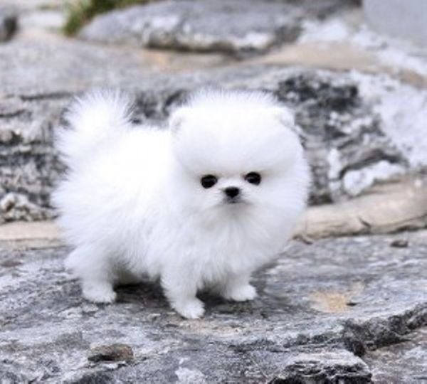 Adorable pomeranian puppy available for a new family