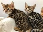 lovely bengal kittens  for sale