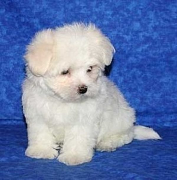 Gorgeous Male and Female MALTESE puppies for a good home