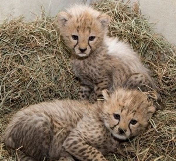 ale and Female Tigers, Cheetah Cubs For Sale
