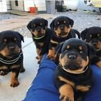 Special little Rottweiler puppies