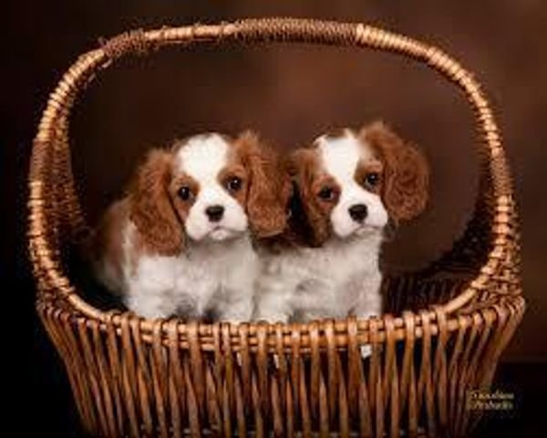 Pedigree Cavalier King Charles Spaniel Puppies for sale