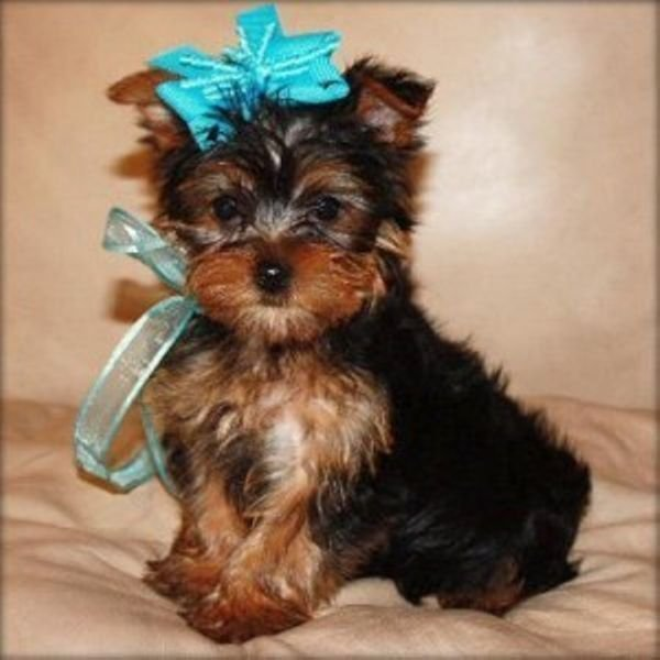 Top Quality Teacup Yorkie Puppies For Adoption .EMAIL;kycee0686@gmail.com
