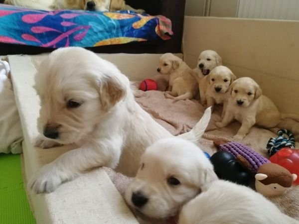 Cute Golden Retriever Puppies Available