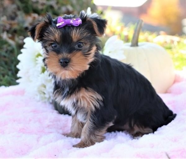 Beautiful Yorkshire Puppies for sale