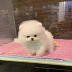 Awesome Teacup pomeranian puppies ready now