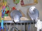 Two African Grey Parrots for re-homing