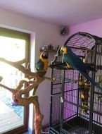 Blue & Gold Macaw parrots for sale