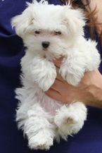 BRIGHTEN TEACUP MALTESE BOTH MALE AND FEMALE AVAILABLE!!