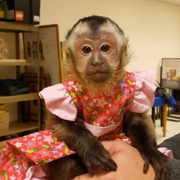 contact via whatsapp   +971 55 226 3211 12 weeks old capuchin monkeys which is available