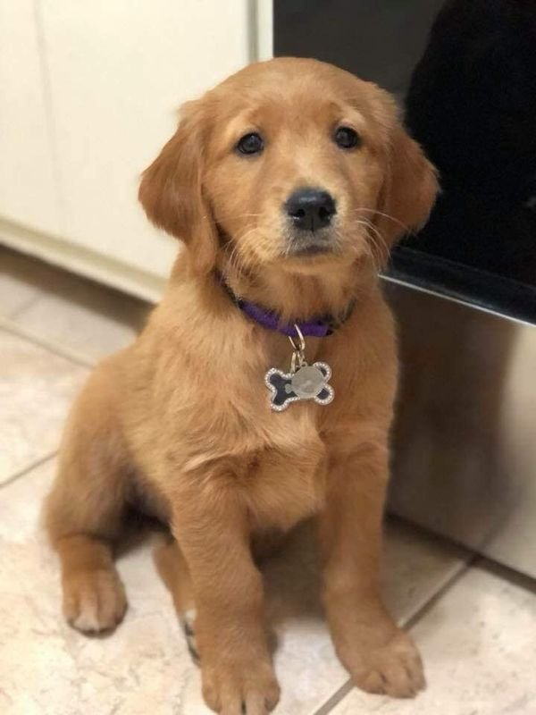 Two adorable 10 week old golden retriever puppies