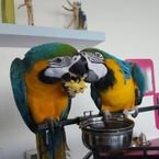 Blue and Gold Macaw Parrots for adoption whatshapp+97150415305