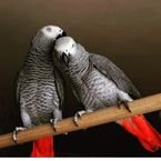 AKC African grey parrots