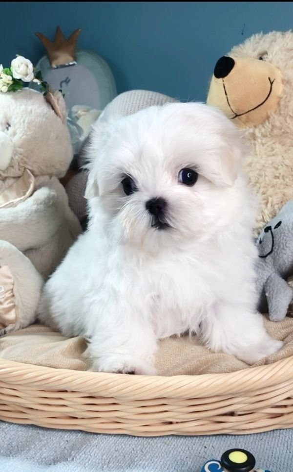 Adorable male and female Maltese puppies Available