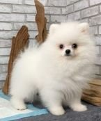 Rehoming Pomeranian puppies for adoption