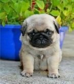 Cute Pug puppies registered
