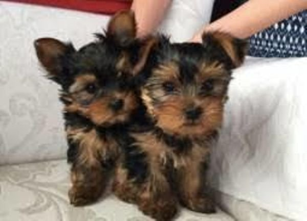 Beautiful Yorkie Puppies available for sale