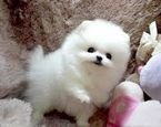 Playful Teacup Pomeranian Puppies available for sale