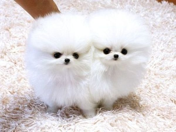 Two little Teacup Pomeranian puppies for sale