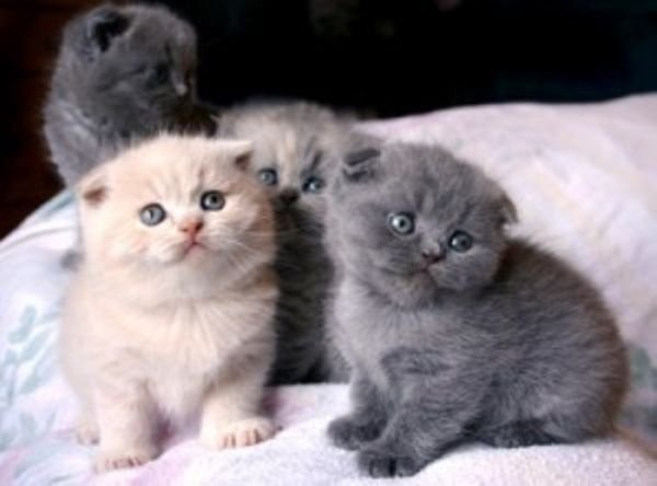 Kittens Scottish fold for Adoption