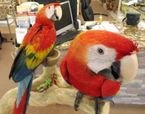 Male and female Scarlet macaw parrots ready to go