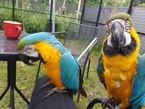 Gorgeous Tamed & Talking Blue & Gold Macaw Parrots