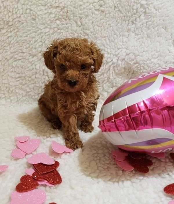 Fluffy Poodle Puppies Available