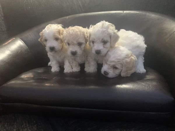 Cute Cavachon Puppies Available.