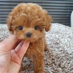 Cute Toy poodle puppies ready now