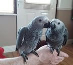 AWESOME AFRICAN GRAY PARROTS + CAGE