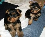 Beautiful Yorkie Puppies available