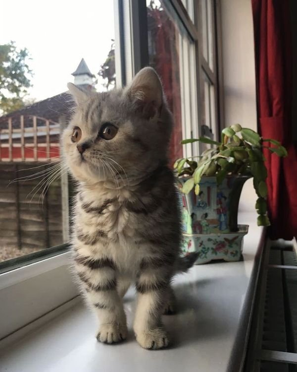 Beautiful male and female British short hair kittens For Sale.