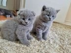 Adorable Scottish Fold Kittens for sale