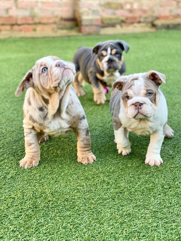Full vaccinated, kids friendly Eng. Bulldogs puppies