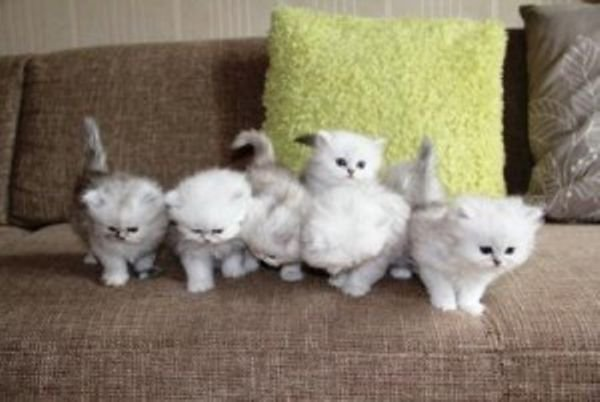 persian kittens available now for adoption