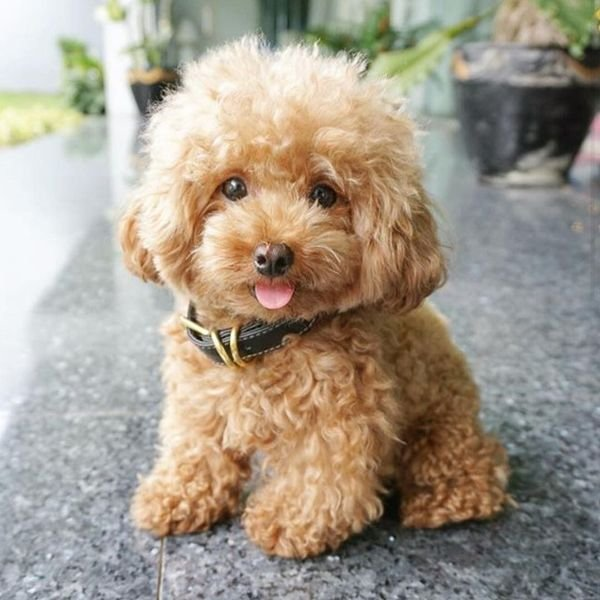 My adorable teacup poodle puppies ready for adoption