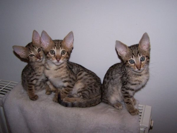 lovely Savannah kittens available for sale.