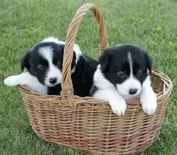 Adorable Border Collie pups for sale