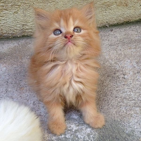Lovely male and female Persian kittens ready for sale.